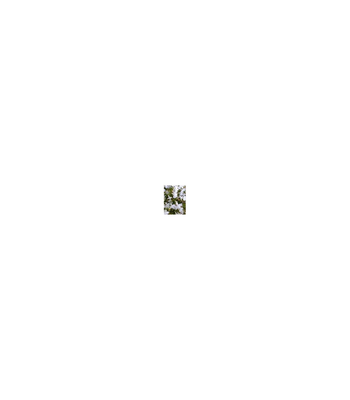 Lobelka drobná nízká - směs - Lobelia erinus - semena Lobelky - 1000 ks