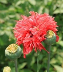 Mák setý Rose Feathers - Papaver somniferum - osivo máku - 200ks