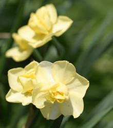 Narcis Cheerfulness - Narcissus - cibule narcisů  - 3ks