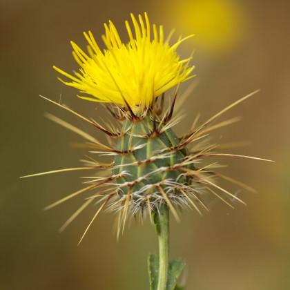 Chrpa luční žlutá - Centaurea cyanus - osivo chrpy - 50ks