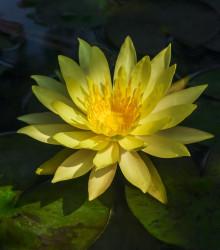 Leknín žlutý - Nymphaea - osivo - 5ks