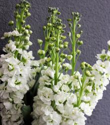 Fiala letní bílá - Matthiola incana - osivo fialy - 60ks