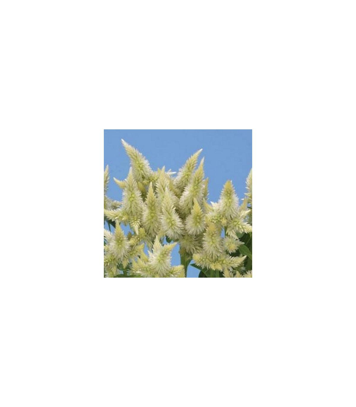 Nevadlec klasnatý bílý - Celosia spicata - osivo celosie - 10ks