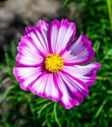 Krásenka zpeřená Fizzy Rose - Cosmos bipinnatus - osivo krásenky - 80ks