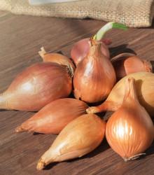 Cibule sazečka ozimá Shakespeare - Allium cepa - cibulky sazečky - 250g