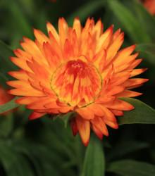Smil listenatý oranžový - Helichrysum bracteatum - osivo smilu - 500ks