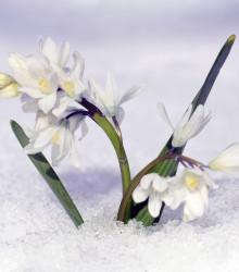 Ladoňka bílá - Scilla siberica alba - cibule ladoňky - 3 ks