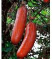 Casabanan - Muškátová okurka - Sicana odorifera - prodej semen - 6 ks