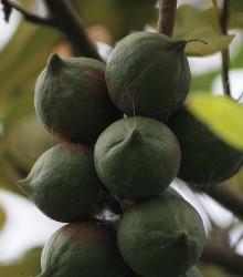 Makadámie - rostlina Macademia integrifolia - Makadamské oříšky semena - 2 ks