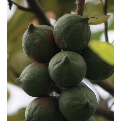 Makadámie - Macademia integrifolia - osivo makadámie - 2 ks