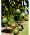 Makadámie - rostlina Macademia integrifolia - Makamské oříšky - 2 ks