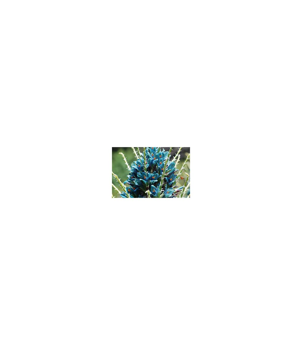 Puya Berteroniana- semena- 5 ks
