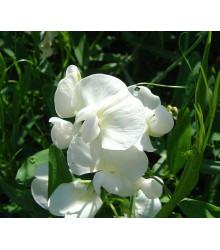 More about Hrachor pnoucí královský - Lathyrus odoratus - semena hrachoru - 20 ks