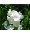 Hrachor pnoucí kárlovský - Lathyrus odoratus - semena hrachoru - 20 ks