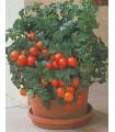 Rajče Patio - prodej semen rajčat - 6 ks