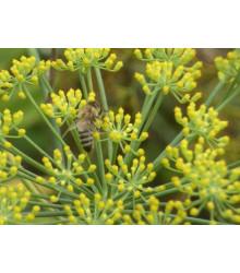 More about BIO Fenykl obecný - rostlina Foeniculum vulgare - prodej bio osiva - 0,6 gr