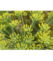 Fenykl obecný - BIO osivo - rostlina Foeniculum vulgare - prodej bio osiva - 2 gr