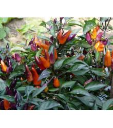 Chilli Ember - prodej chilli semínek - 6 ks