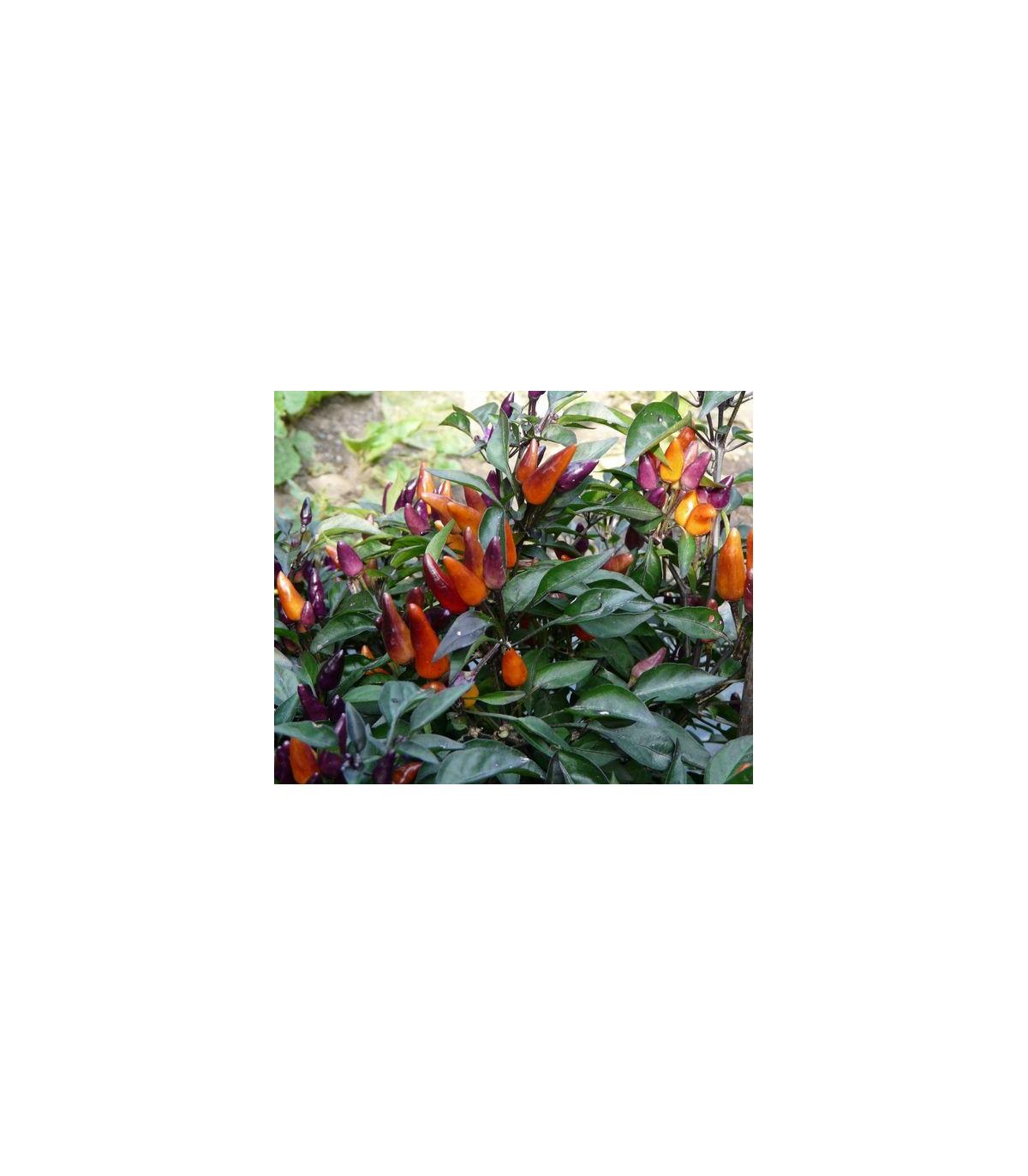 Chilli Ember - Capsicum Annuum - semena - 6 ks