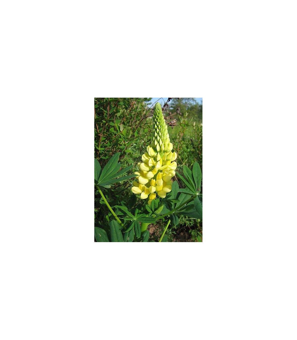 Vlčí bob žlutý - Lupina mnoholistá - Lupinus polyphyllus - semena vlčího bobu - 30 ks