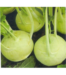 Kedluben extra jemný - rostlina Brassica oleracea - prodej semen kedlubny - 50 ks