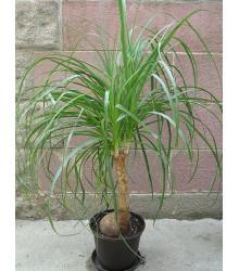 More about Nolina - Sloní noha - rostlina Nolina longifolia - 5 ks