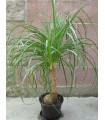 Nolina - Sloní noha - rostlina Nolina longifolia - 5 ks