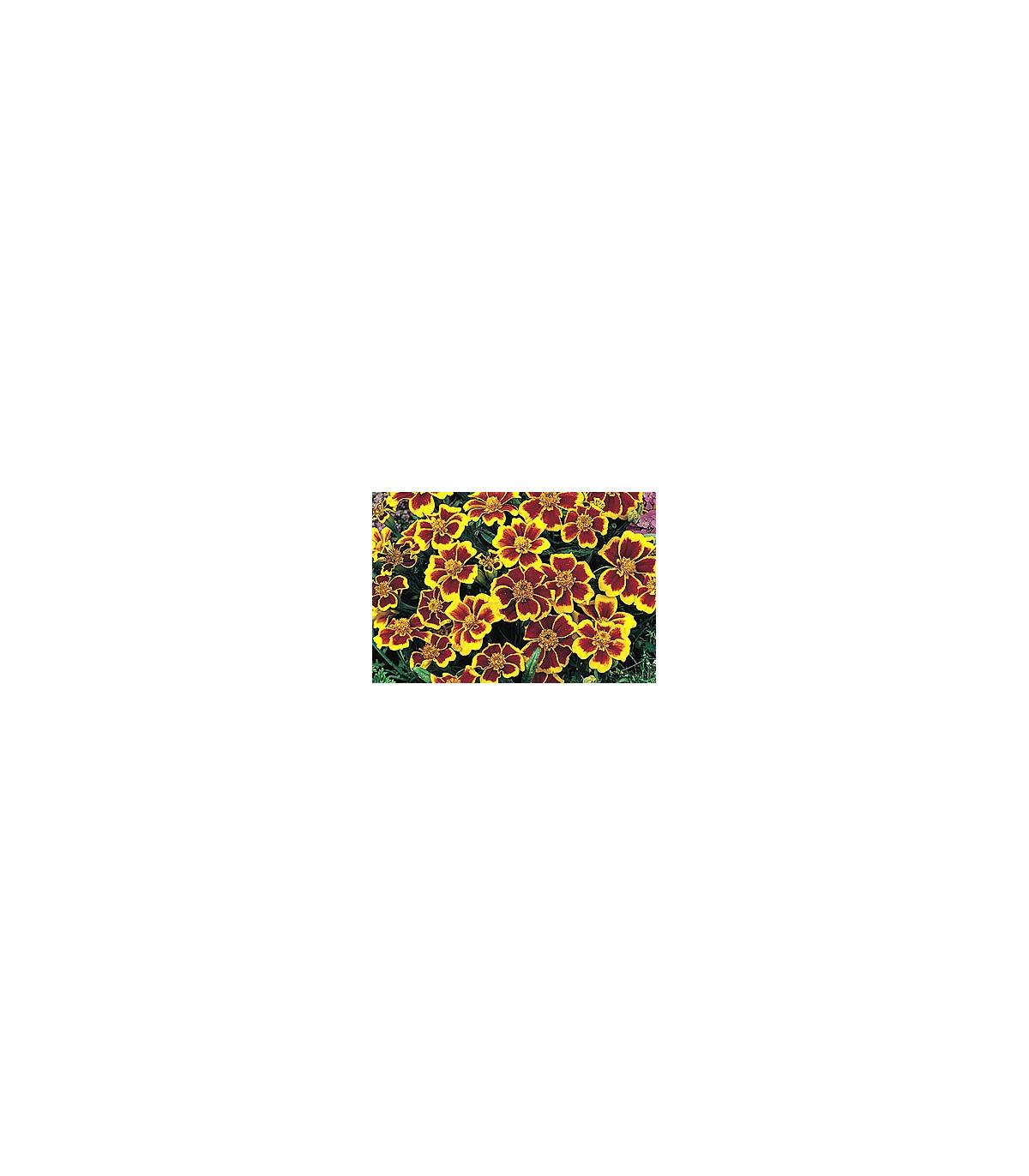 Aksamitník jednoduchý směs - Tagetes patula - osivo aksamitníku - 100 ks