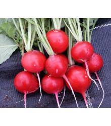 Ředkvička červená kulatá - Carnita - prodej semen ředkvičky -