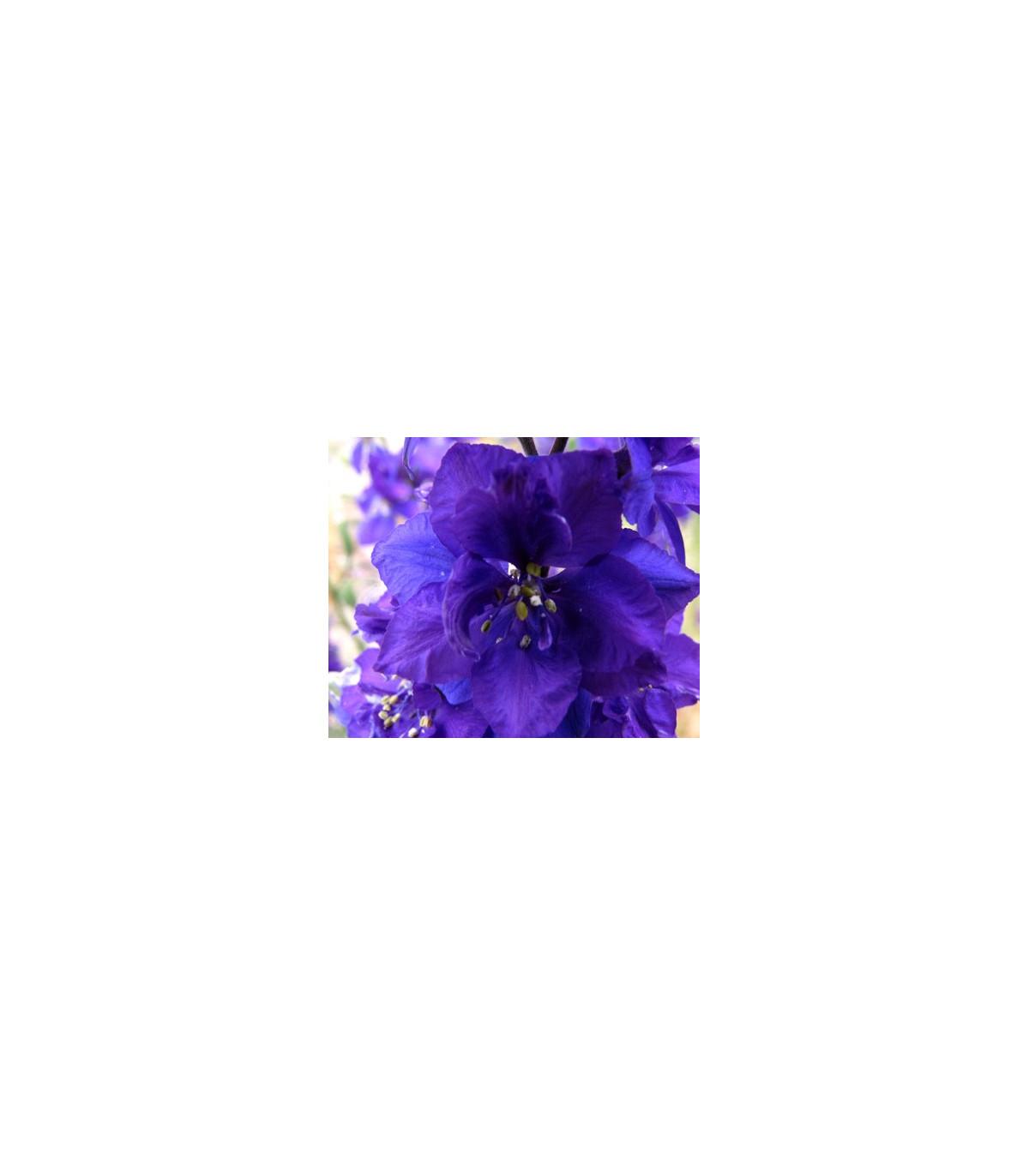 Stračka - Deplhinium cultorum - semena Stračky - 50 ks