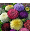 Astra čínská pomponkovitá směs barev - semena Astry- 1 gr