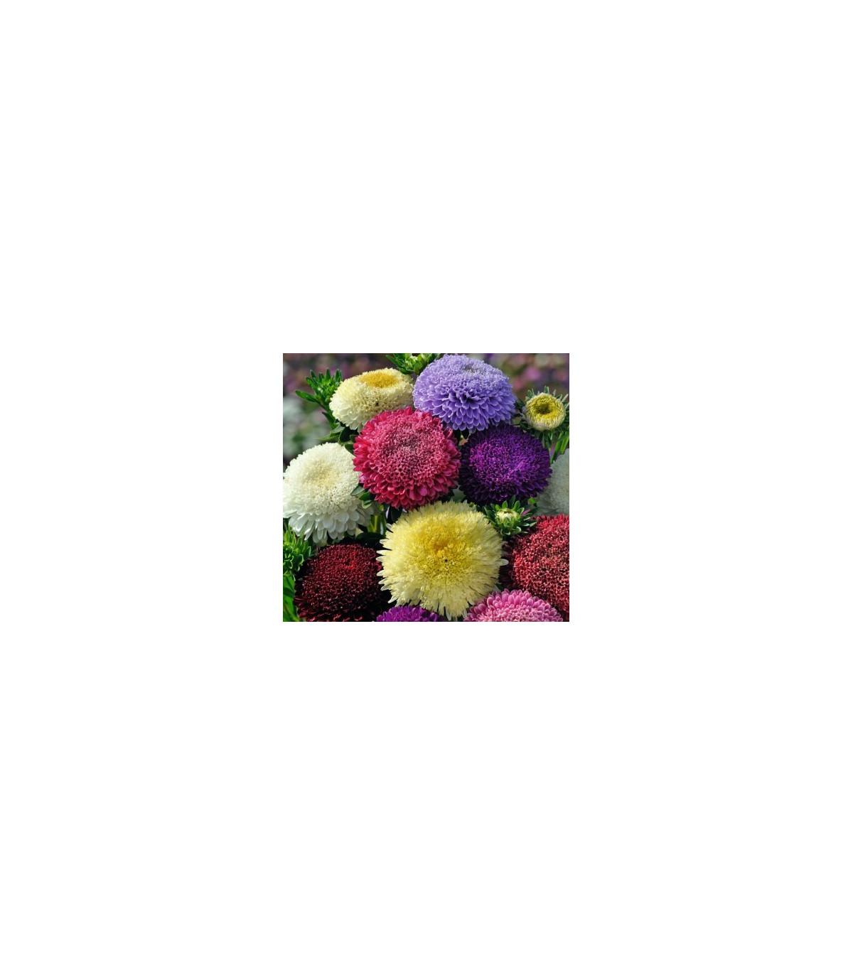 Astra čínská pomponkovitá směs barev - Calistephus chinensis - osivo astry - 80 ks