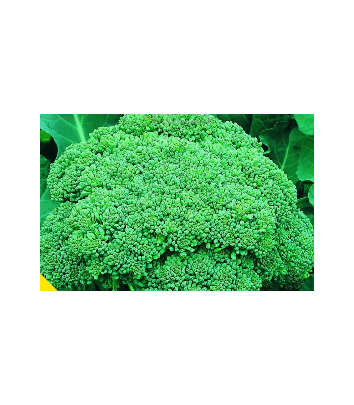 Brokolice Calabrese - Brassica oleracea L. - prodej semen brokolice - 0,9 gr