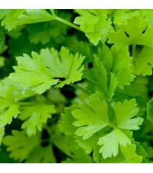 Celer řapíkatý - Apium graveolens - semena celeru - 1 gr