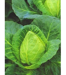 More about Zelí bílé velmi rané - prodej semen zelí - 0,8 gr