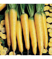 More about Mrkev žlutá Yellowstone - rostlina Daucus carota - prodej semen mrkve - 1 gr