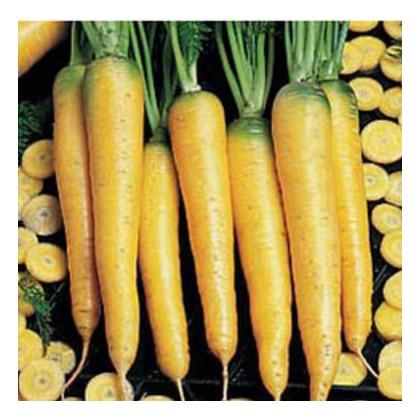 Mrkev žlutá - prodej semen mrkve - 1 gr