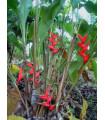 Helikonie (Heliconia aemygdiana)- semena- 5ks