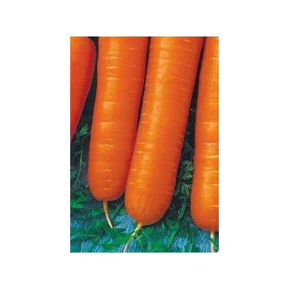 Mrkev karotka poloraná - Daucus carota - osivo mrkve - 1,5 gr