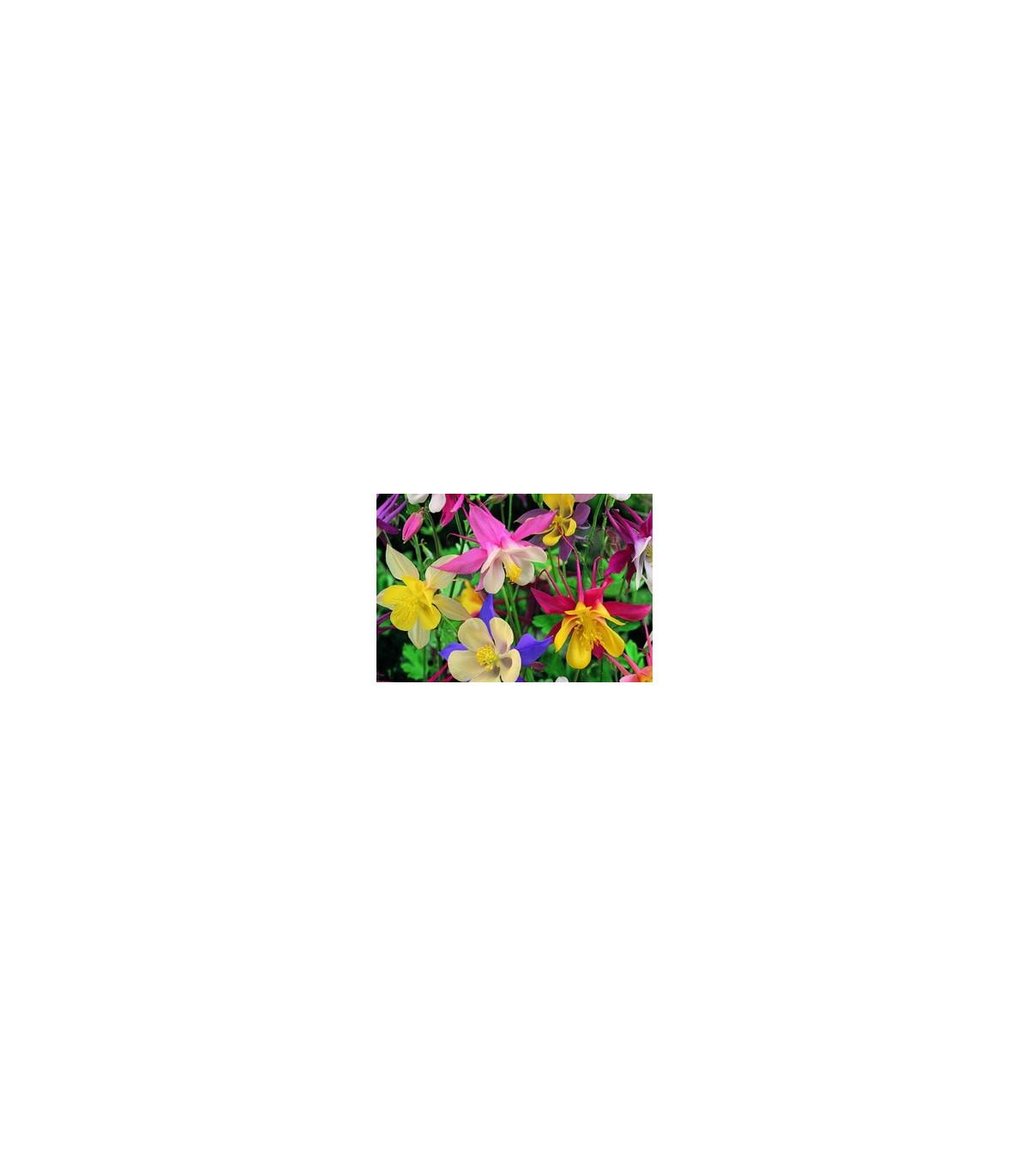 Orlíček velkokvětý směs barev - Aquilegia caerulea - osivo orlíčku - 250 ks