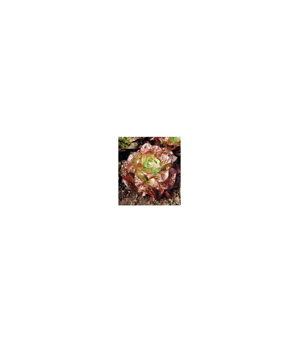 Salát hlávkoý červený - Latusa sativa - prodej semen salátu - 0,5 gr