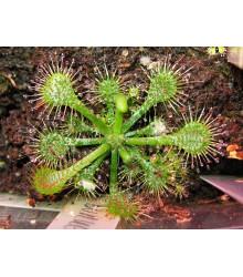 Drosera burkeana- semena- 15 ks
