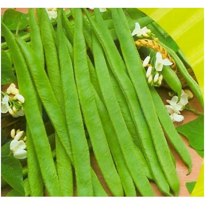 Fazol tyčkový bílý - Phaseolus vulgaris - prodej semen - 2 gr