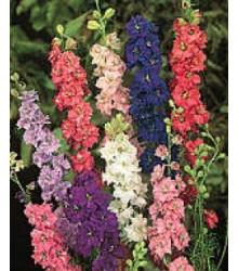 More about Stračka zahradní hyacintokvětá - směs barev - Delphinium ajacis - semena Stračky - 300 ks