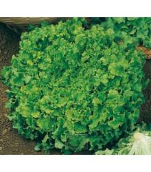 More about Salát k česání - prodej semen salátu - Lactuca sativa - 1 gr