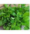Mix provensálského salátu - semena salátu - 0,1 gr