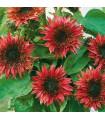 Slunečnice roční F1 Fantazie - Helianthus annuus - prodej semen - 6 ks