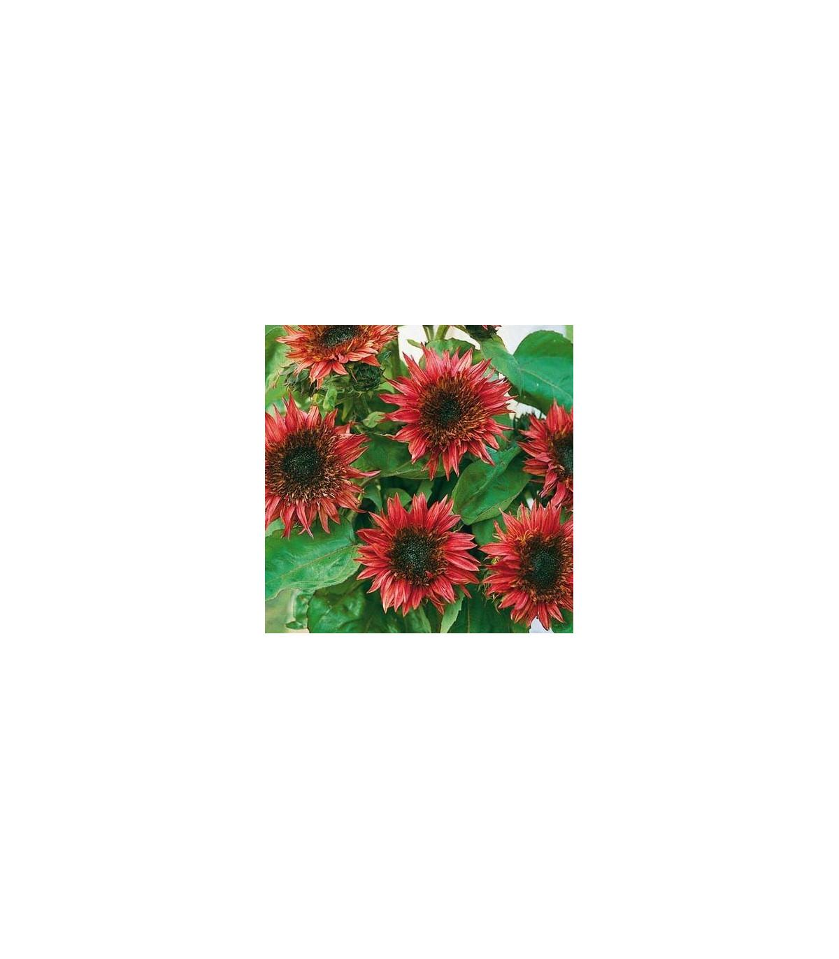 Slunečnice roční F1 červená Double dandy - Helianthus annuus - osivo slunečnice - 6 ks