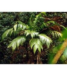 More about Palma mexická - Geonomma Interrupta - osivo palmy - 5 ks