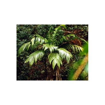 Palma-Geonomma Interrupta- semena- 5 ks